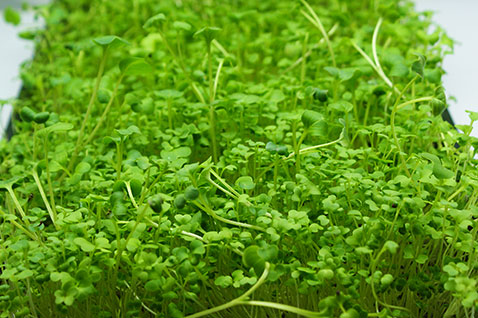 brassica microgreens